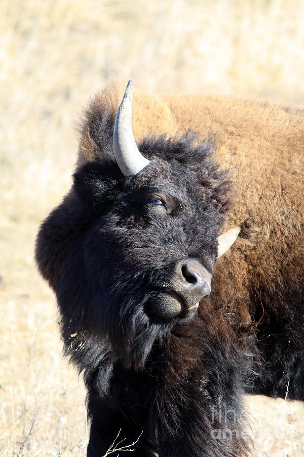 Bison Photograph - Strike A Pose by Rick Rauzi