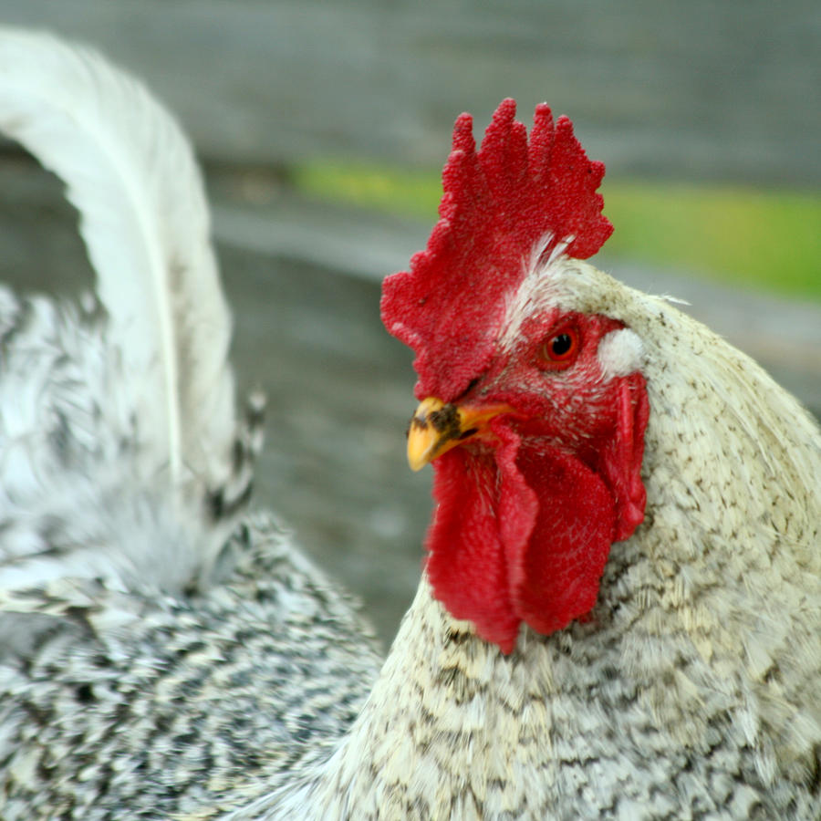 Rooster Photograph - Striking A Pose by Art Block Collections