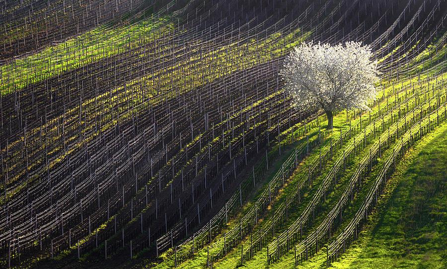 Spring Photograph - Strings Of Spring by Vlad Sokolovsky