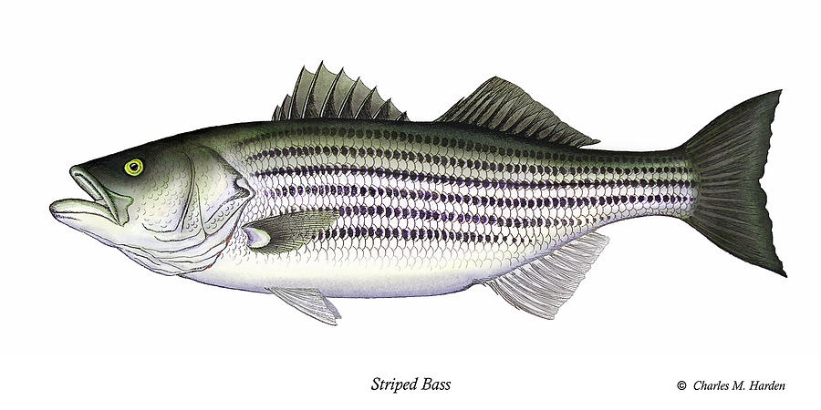 Striped bass painting by charles harden for Fishing for striped bass