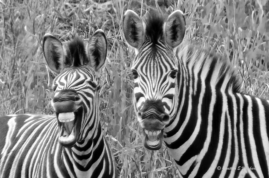 Zebra Photograph - Striped Donkeys Zebra Chapmans Race by Jonathan Whichard