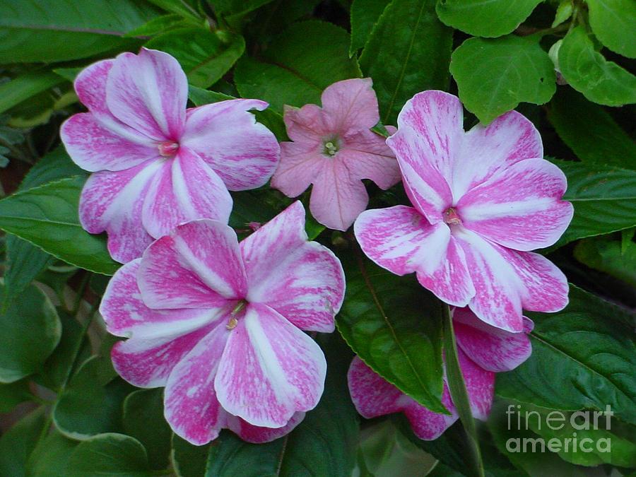 Flower Photograph - Striped Flower by Nancie Johnson