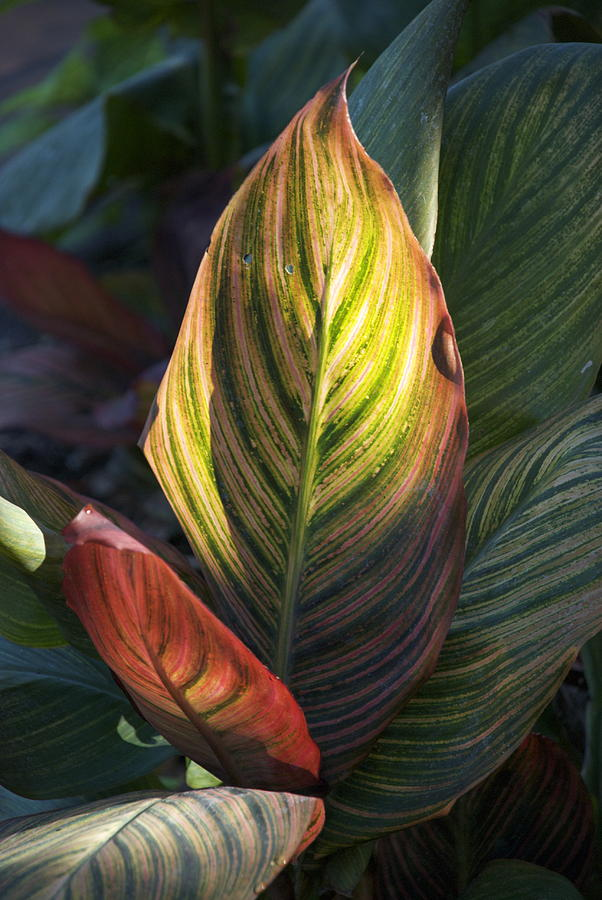 Summer Striped Leaves Photograph
