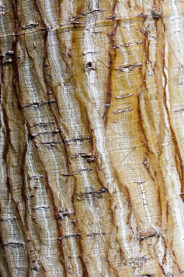 Arboretum Photograph - Striped Maple by Steven Ralser