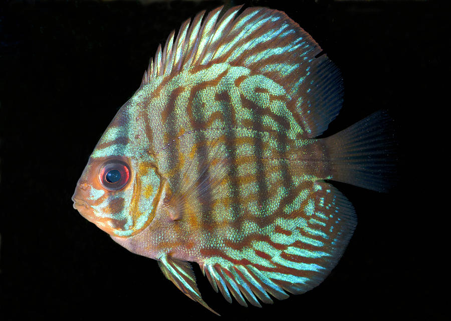 Nobody Photograph - Striped Turquoise Discus by Nigel Downer