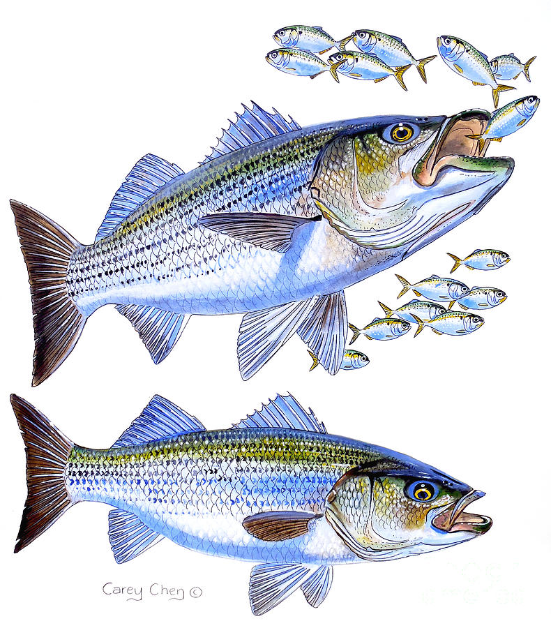 Stripers Painting By Carey Chen