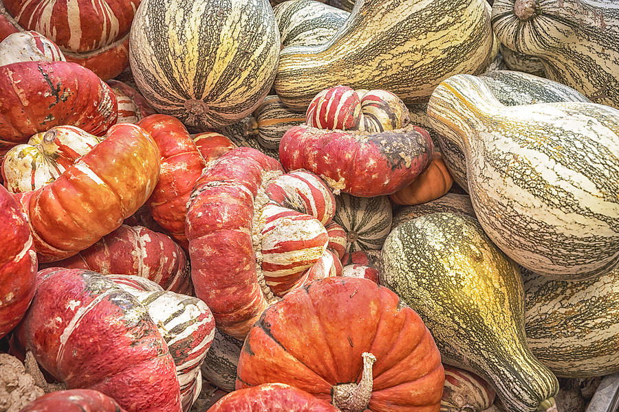 Squash Photograph - Stripes by Caitlyn  Grasso