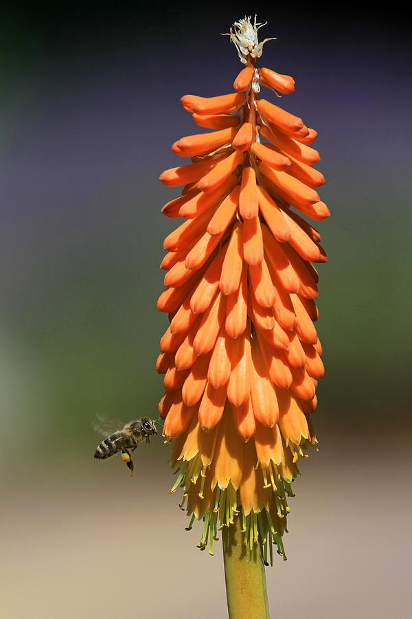 Honey Bee Photograph - Stripes by Donna Kennedy