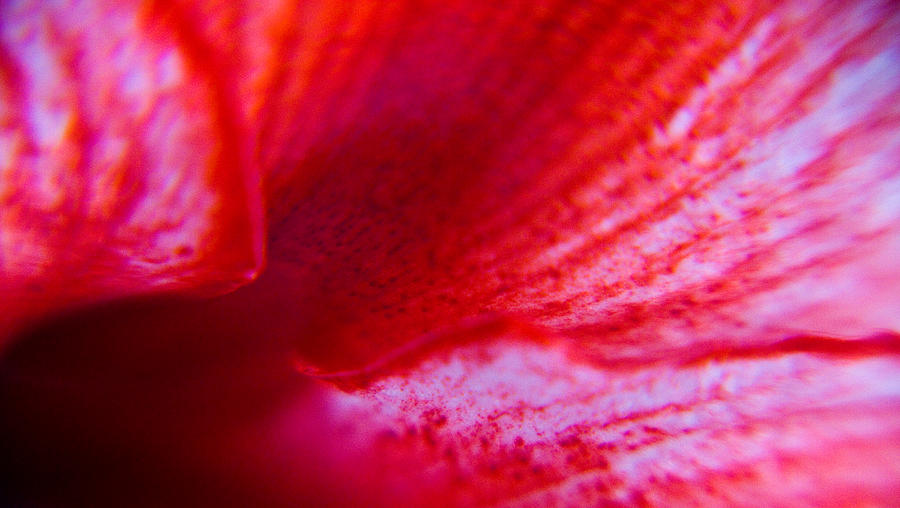 Flower Photograph - Stripes Of A Lily by Kim Lagerhem