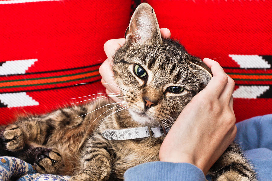 Alive Photograph - Stroking A Cat by Tom Gowanlock