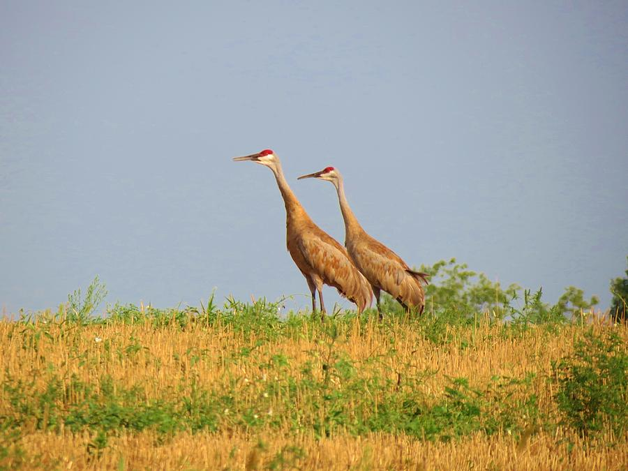 Birds Photograph - Strolling Sandhills by Feva  Fotos