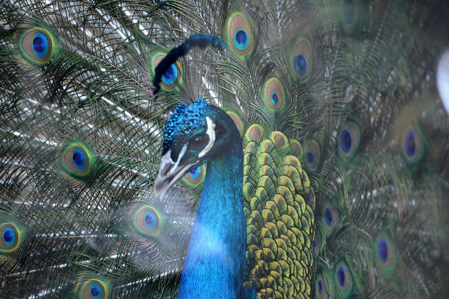 Peacock Photograph - Strutting by Lisa Kane