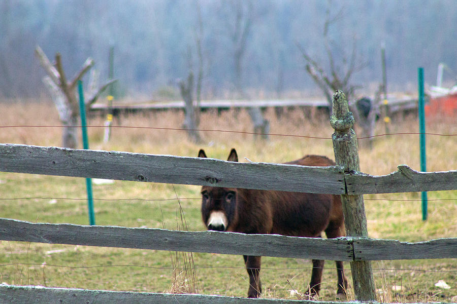 Borro Photograph - Stubborn As A Mule by Rhonda Humphreys