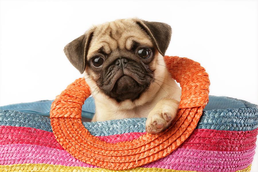 Stuck Pug Photograph by Greg Cuddiford