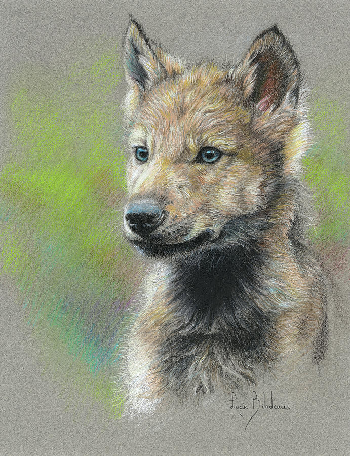 Study - Baby Wolf Drawing by Lucie Bilodeau