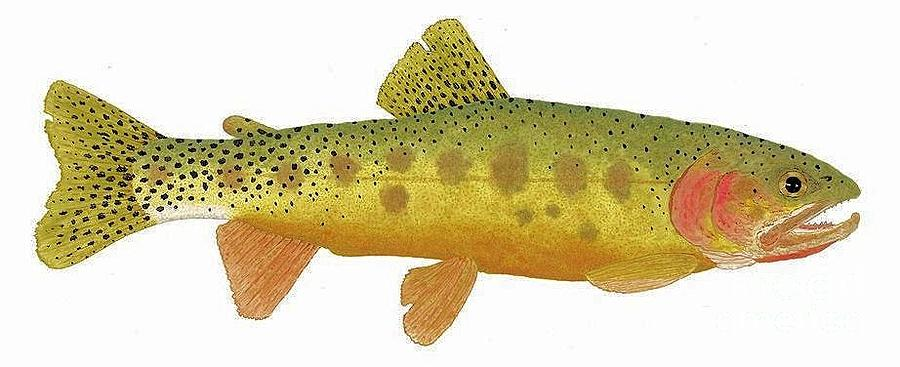 Study of a Rio Grande Cutthroat Trout by Thom Glace