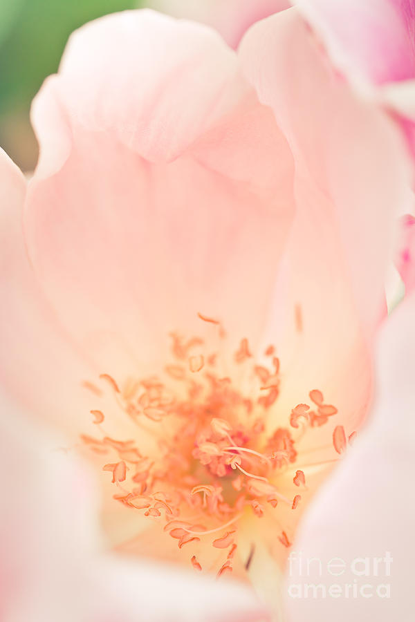 Nature Photograph - Study Of A Rose Four by Lisa McStamp