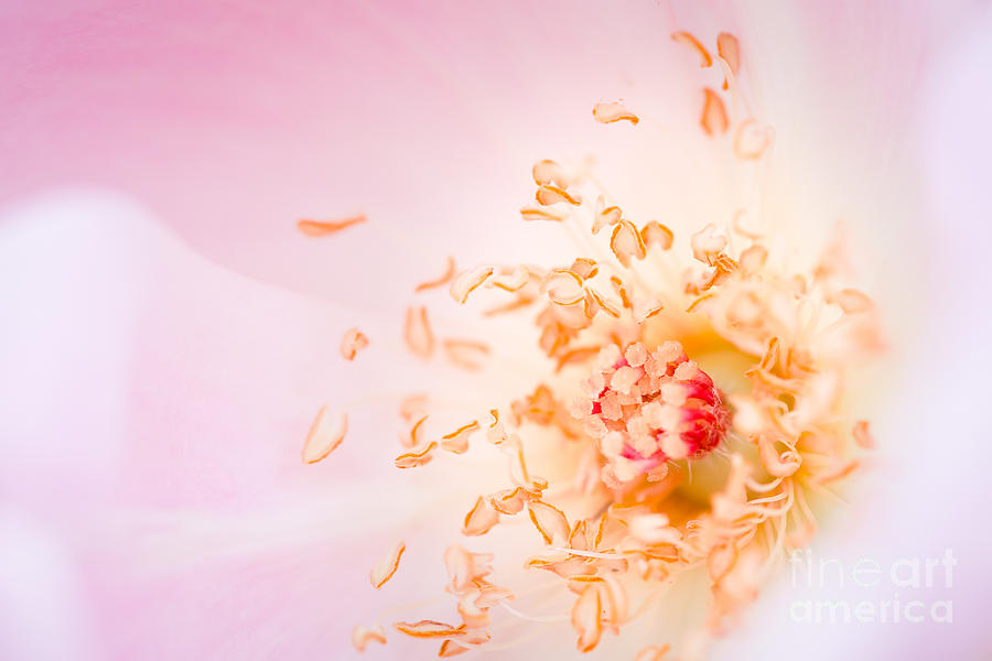 Nature Photograph - Study Of A Rose One by Lisa McStamp