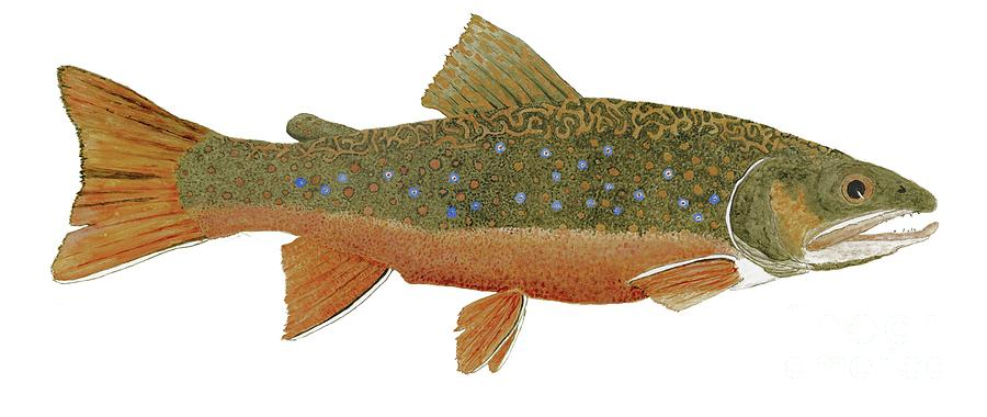 Study of an Wild Eastern Brook Trout  by Thom Glace