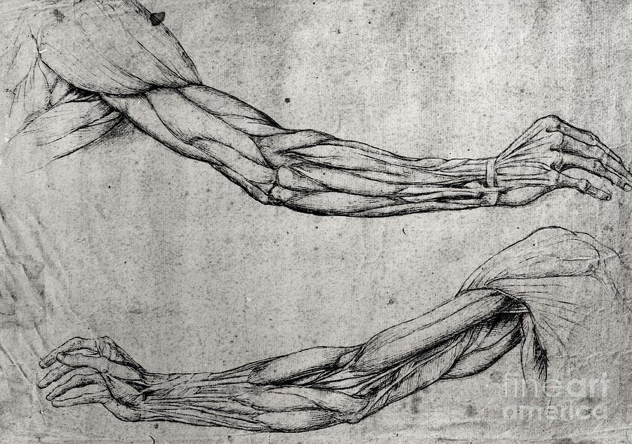 Study Of Arms Drawing by Leonardo Da Vinci