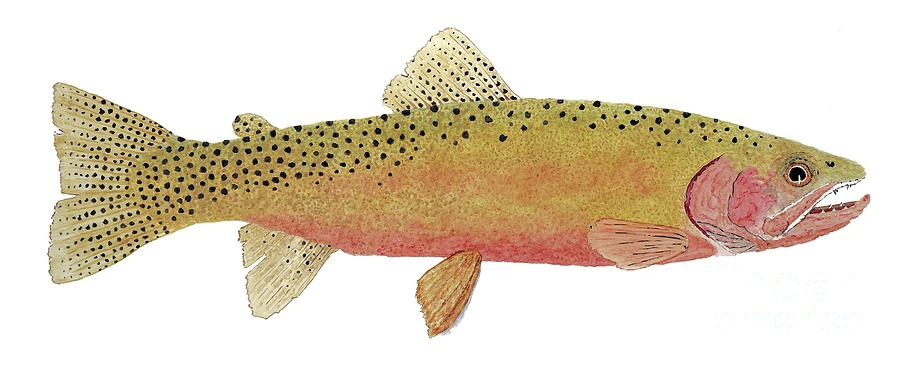 Study of the Greenback Cutthroat by Thom Glace