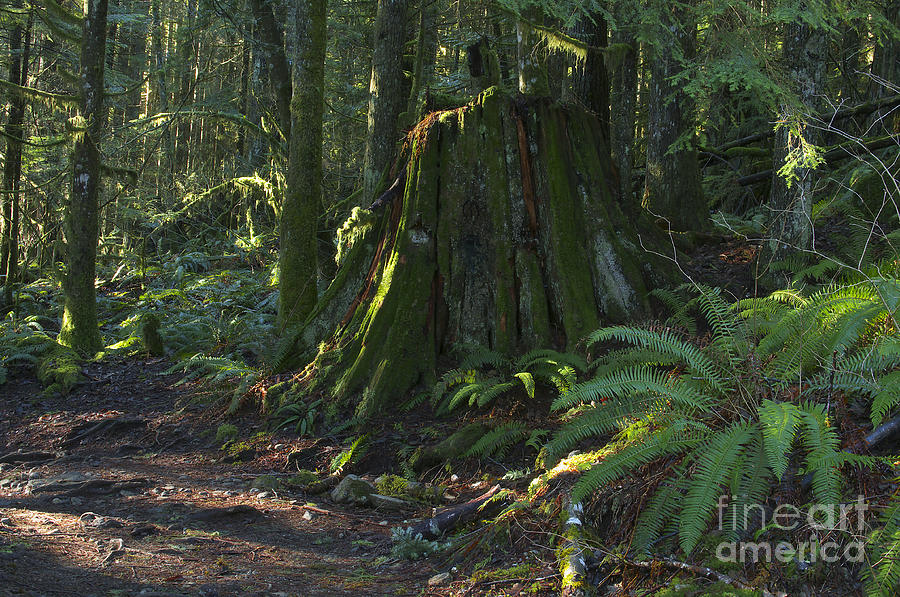 Stump Photograph - Stump And Fern by Sharon Talson