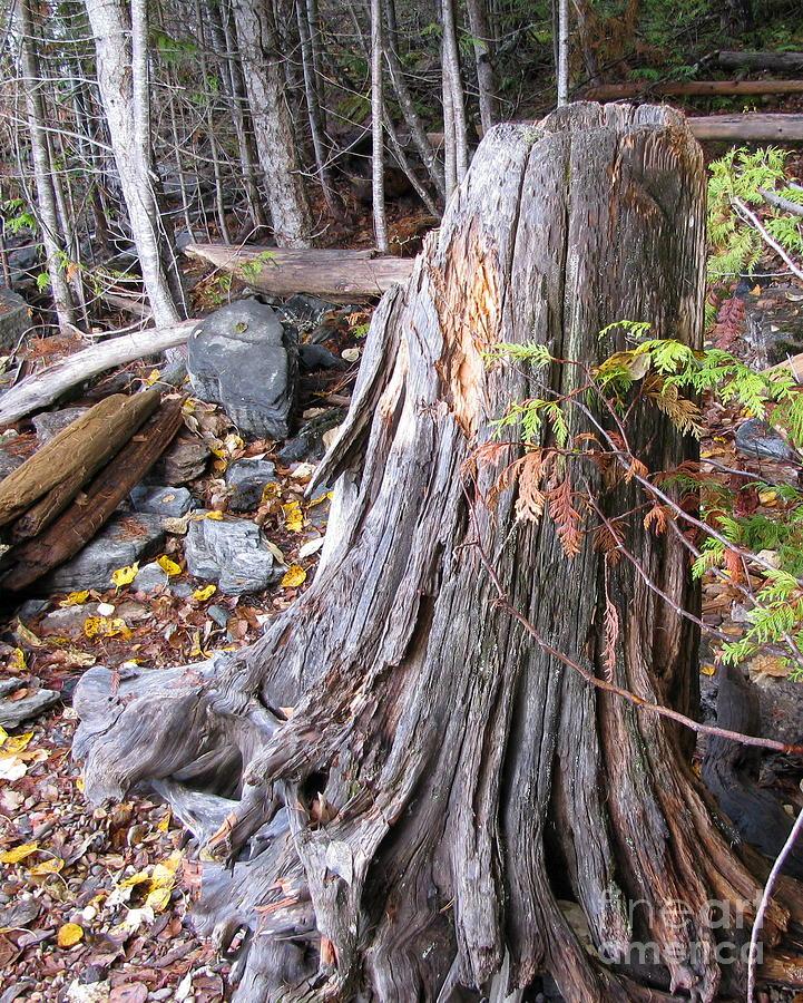 Tree Photograph - Stump by Leone Lund