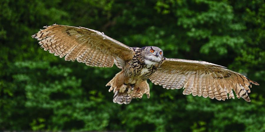 European Eagle Owl Photograph - Stunning European Eagle Owl In Flight by Matthew Gibson