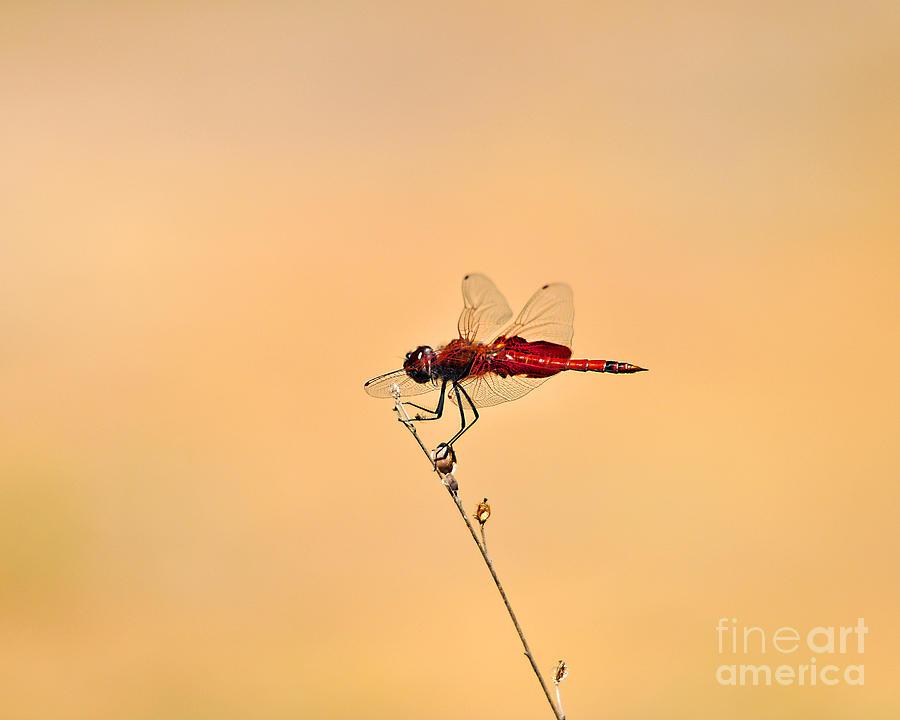 Dragonfly Photograph - Stunning Saddlebags by Al Powell Photography USA