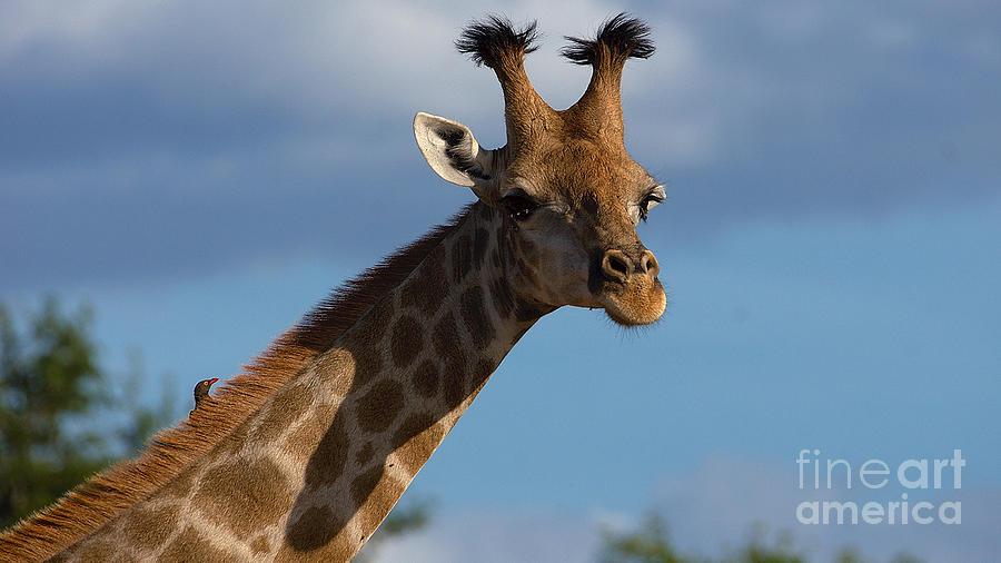 Stylish giraffe by Mareko Marciniak