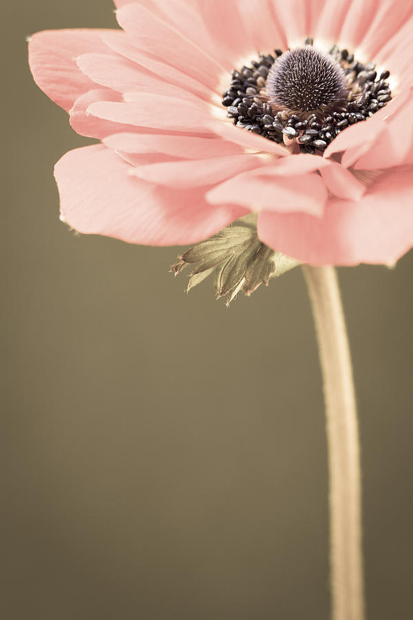 Flower Photograph - Subdued Anemone by Caitlyn  Grasso