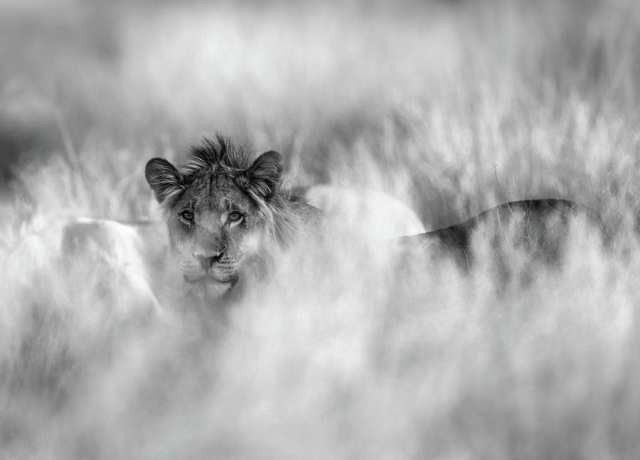 Lion Photograph - Subtle Mane by Jaco Marx