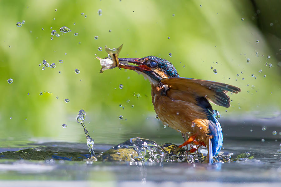 Success - Kingfisher Catching A Fish Photograph by Mark Medcalf