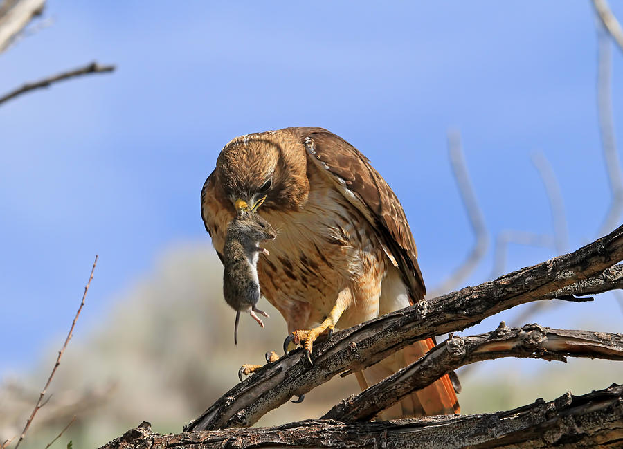Red Tail Hawk Photograph - Successful Hunt by Donna Kennedy