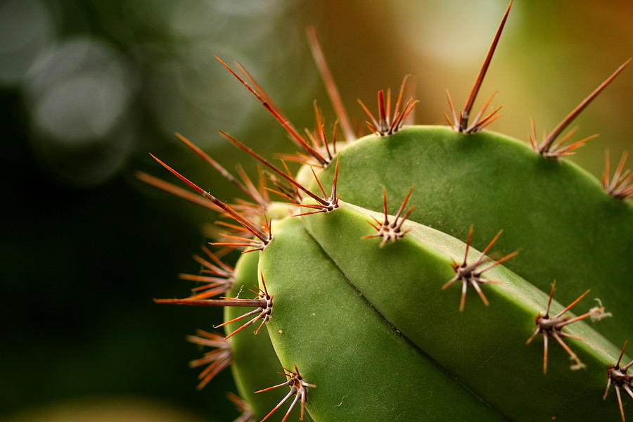 Succulent Photograph - Succulent Defences by Jacqui Collett