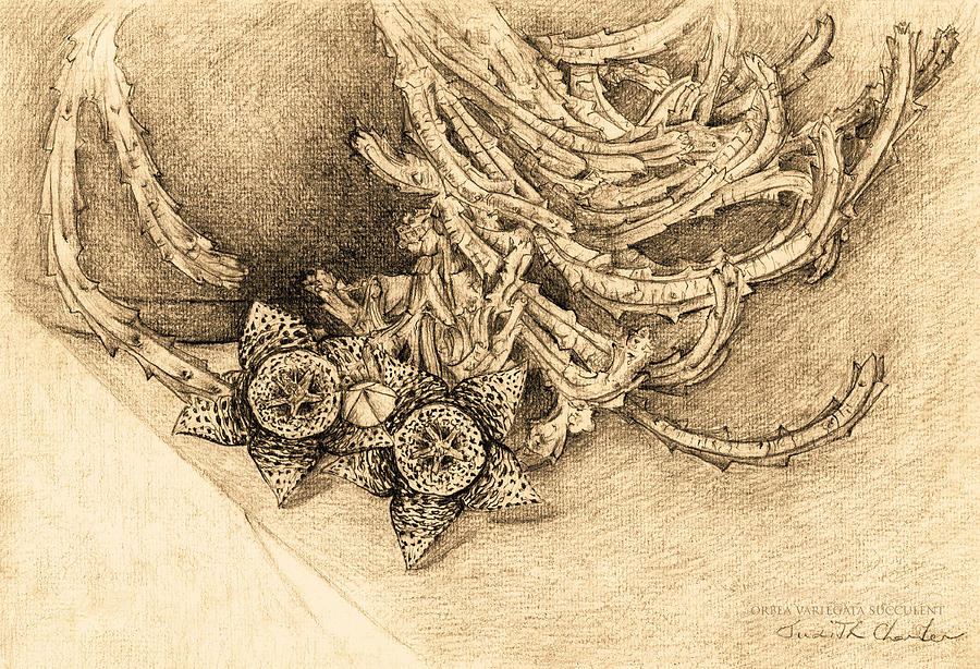 Succulent Flowers Drawing - Succulent Flowers by Judith Chantler