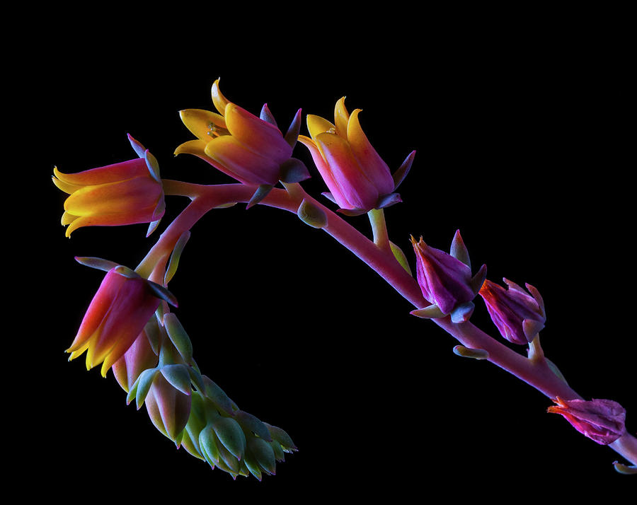 Succulent Flowers On A Stalk Photograph by Bill Gracey
