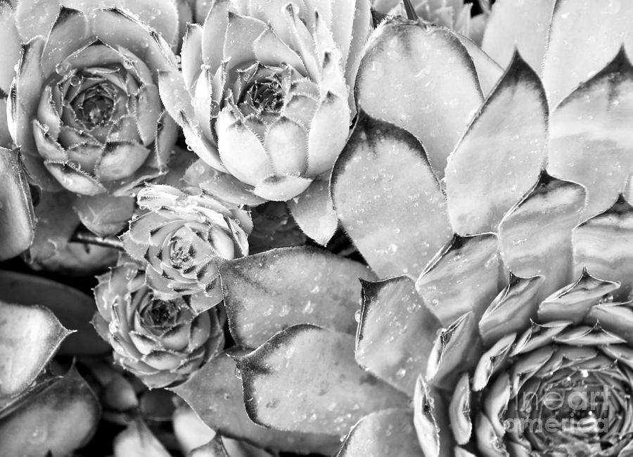 Pattern Photograph - Succulent In Black And White by Ioanna Papanikolaou