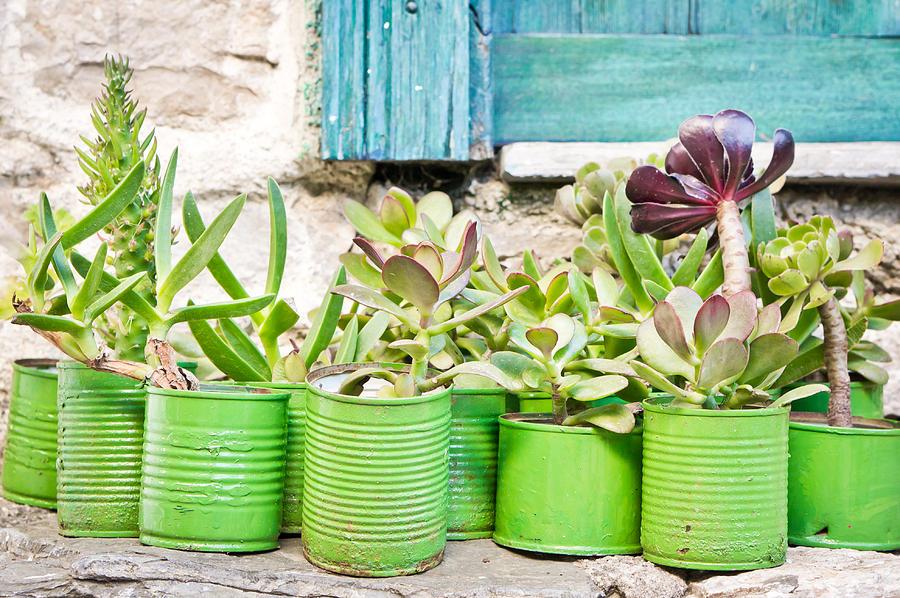 Succulent Plants Photograph