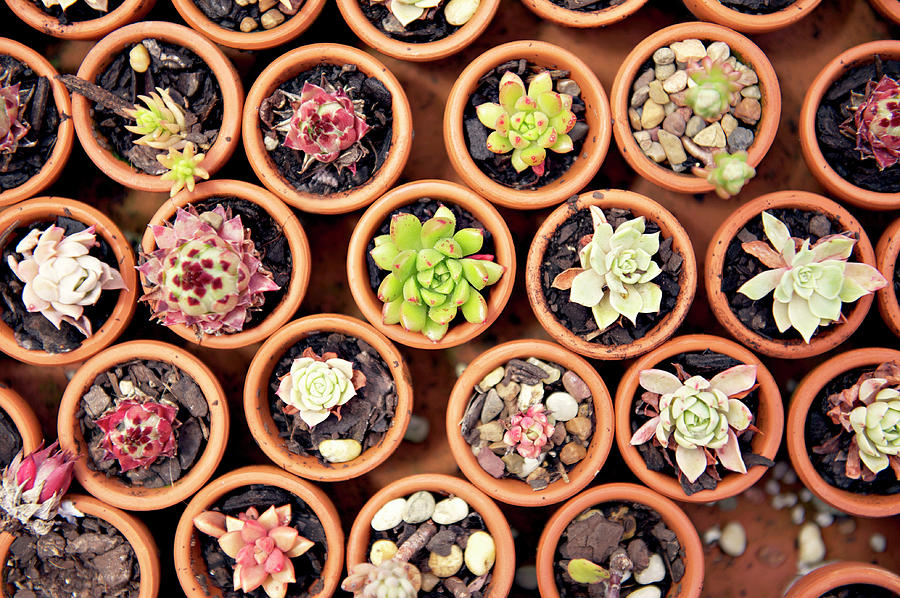 Succulents In Clay Pots Photograph by Sharon Lapkin