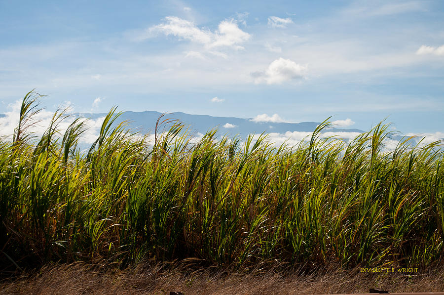Outdoors Photograph - Sugar Cane Field - Maui by Paulette B Wright