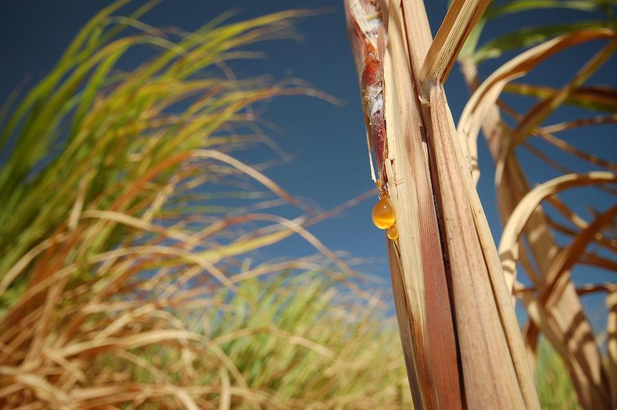 Sugar Cane Fields In Egypt Photograph by Tom Allen