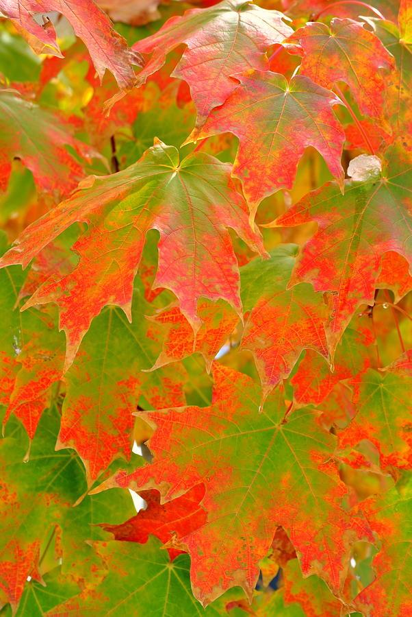 Sugar Maple Acer Saccharum Photograph By Nathan Abbott