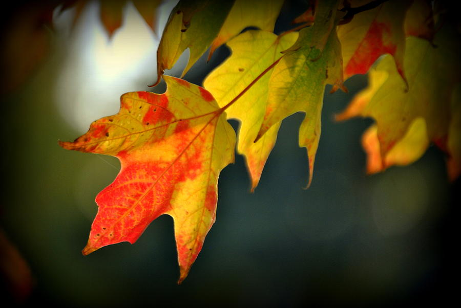 Maple Photograph - Sugar Maple Fall Colors by Nathan Abbott