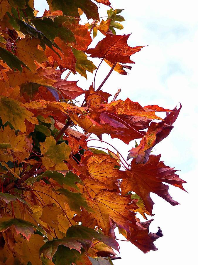 Maple Photograph - Sugar Maple Study by Pamela Patch