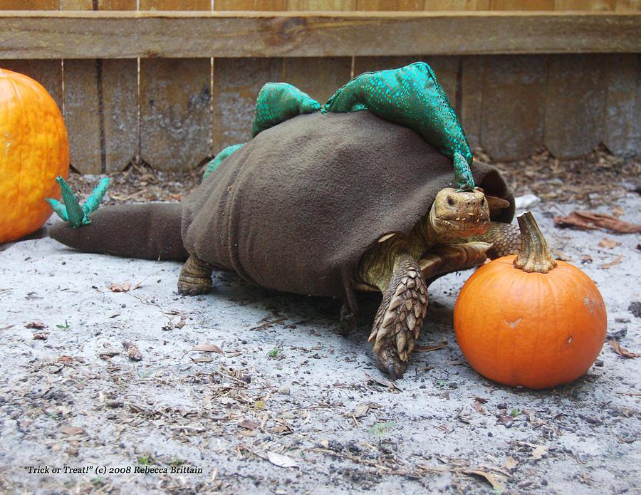 Sulcata Tortoise Photograph - Sulcata Tortoise Halloween Costume by Rebecca Brittain & Sulcata Tortoise Halloween Costume Photograph by Rebecca Brittain