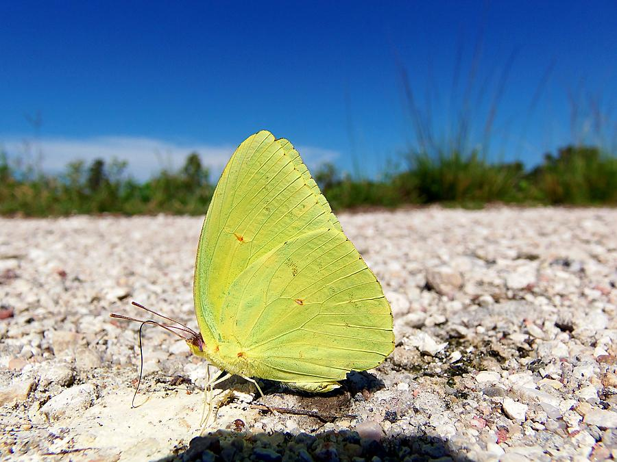 Yellow Butterfly Photograph - Sulphur Yellow Butterfly by Chris Mercer
