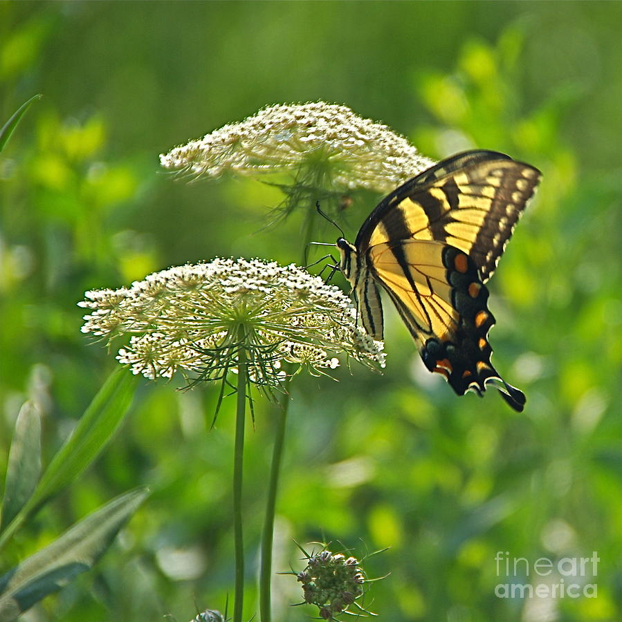 Papilio Glaucus Photograph - Sultry Summer Day by Byron Varvarigos