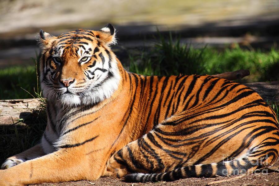 Wingsdomain Photograph - Sumatran Tiger 5d27142 by Wingsdomain Art and Photography