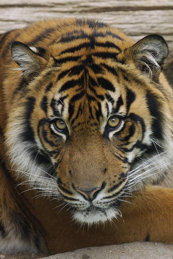 Sumatran Tiger Photograph by Hiroya Minakuchi